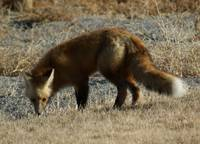 Wyoming Pasture Fox