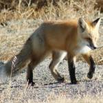 """Wyoming Pasture Fox 2"" by VanPhillips"