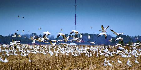 Snow Geese at Takeoff