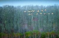 The Snow Geese Formation