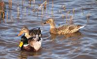 3 Mallard Ducks in the RiverP1011978
