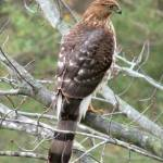 """Broad-winged Hawk"" by Picsofnature"