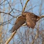 """Red-tailed Hawk takes Flight"" by WildAboutNaturePhotography"