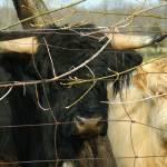 """Scottish Highland Cattle"" by WildAboutNaturePhotography"