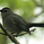 """Catbird"" by WildAboutNaturePhotography"