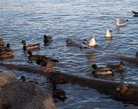 Convention of Ducks, birds, waterfowl 162