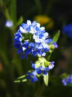 Water True Forget Me Not Myosotis Scorpioides