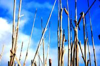 Reeds that Reach the Sky