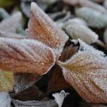 """Frosted Leaves"" by ajphotographysouthend"