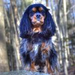 """A Proud Cavalier King Charles Spaniel"" by Daphsam"