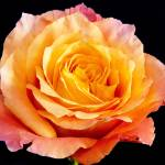 """Enticing Beauty The Orange Rose"" by Daphsam"