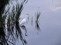 Snowhite Egret Reflection