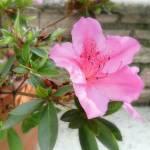"""Pink Azaleas 1 Photo"" by ChristopherInMexico"