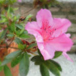 """Pink Azaleas 1"" by ChristopherInMexico"