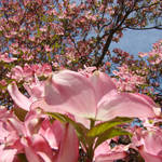 """Beautiful Fine Art Print Pink Dogwood Flowers"" by BasleeTroutman"