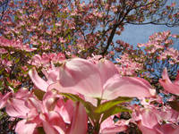 Beautiful Fine Art Print Pink Dogwood Flowers