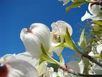 Blue Sky Fine Art Photogrpahy White Dogwood Flower