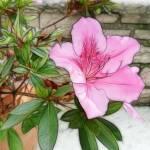 """Pink Azaleas 1 Enhanced"" by ChristopherInMexico"