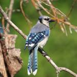 """Blue Jay Mosaic Tail Feathers"" by DelightfulTrifles"