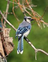 Blue Jay Mosaic Tail Feathers