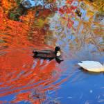 """Ducks in Pinewood Lake"" by mjculbertson"