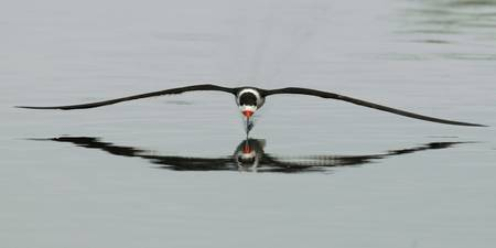 Black Skimmer Head On