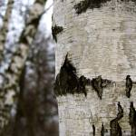 """Birch 2"" by javanslyke"