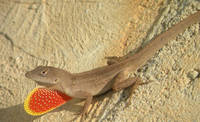 Anole in Red