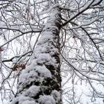 """A Snowy Tall Tree"" by PjCreates"