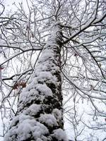 A Snowy Tall Tree