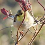 """""""American Goldfinch"""" by WildAboutNaturePhotography"""