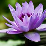 """Purple Water Lily"" by PhotographsByCarolFAustin"