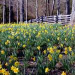 """Hills Of Daffodils"" by bettynorthcutt"
