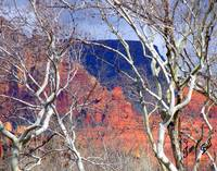 White Cottonwoods and Red Rocks 8615