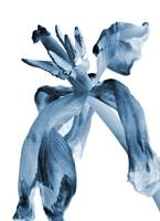Blue Wilted Tulip