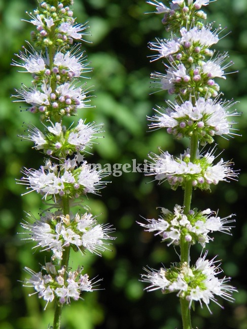Peppermint Flowers Mentha Spicata Plant Mint by Capturing ...