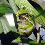"""Tree Frog"" by margo"