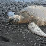 """Honu on Black Sand"" by LParrish"