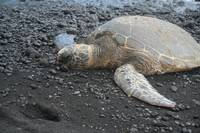 Honu on Black Sand