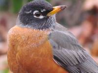 Robin Close Up
