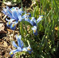 blue flowers-eaarly Spring
