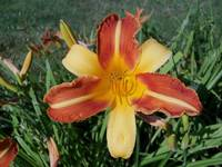 Blooming Tiger Lily