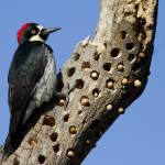 """Acorn Woodpecker"" by Polytelis"