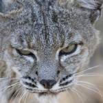 """Bobcat"" by Polytelis"
