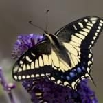 """""""Anise Swallowtail"""" by Polytelis"""