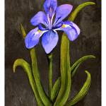 """Louisiana Blue Iris"" by creativemoods"