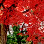 """Essence of Japanese Maple Tree"" by PhotographsByCarolFAustin"