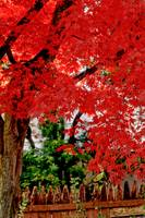 Essence of Japanese Maple Tree