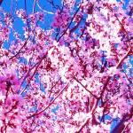 """blossom1"" by capturedmoment"