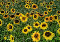 sunflowers . . . good morning!